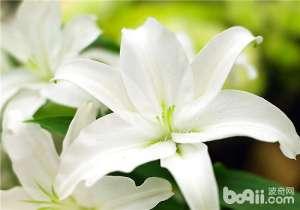 百合花的四种主要繁殖方法-观花植物繁殖_a