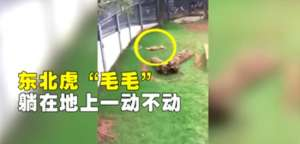 两虎相斗一只身亡 疑争夺配偶而打斗